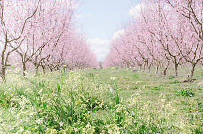 Photograph - Peach Orchard 4 by Andrea Anderegg