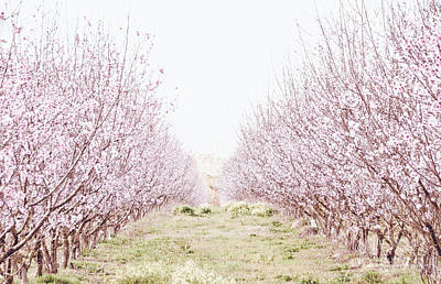Photograph - Peach Orchard by Andrea Anderegg