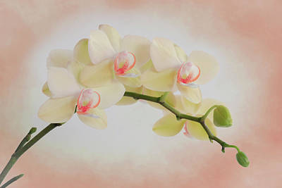 Photograph - Peach Orchid Spray by Patti Deters