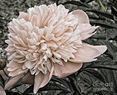 Photograph - Peach Peony by Marcia Lee Jones