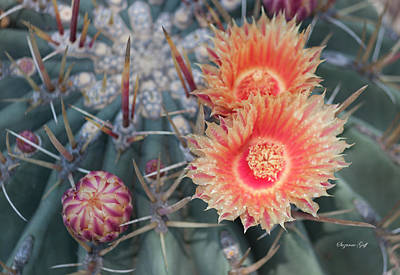 Photograph - Peach Barrel Cactus Flowers II by Suzanne Gaff