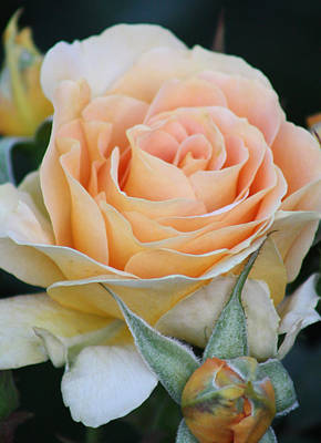 Photograph - Peach Rose 2 by Captain Debbie Ritter