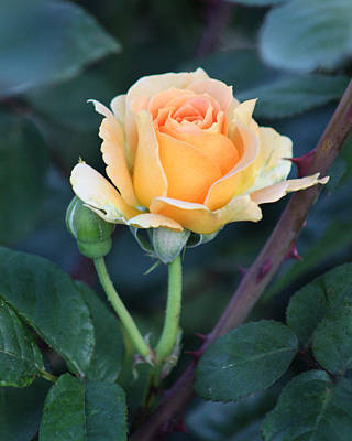 Photograph - Peach Rose 3 by Captain Debbie Ritter
