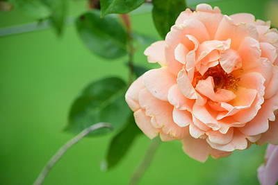 Photograph - Peach Rose by Bonnie Bruno