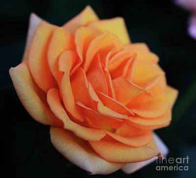 Photograph - Peach Rose by Cindy Manero