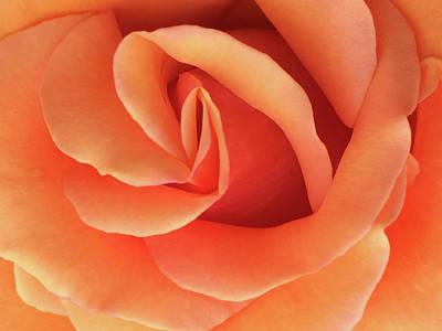 Photograph - Peach Rose by Jacklyn Duryea Fraizer