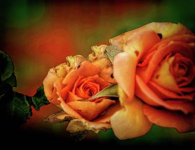 Photograph - Peach Rose by Joseph Hollingsworth