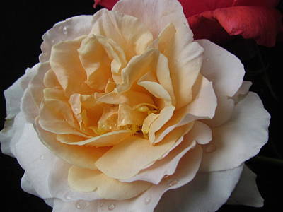 Photograph - Peach Rose by Joyce Woodhouse