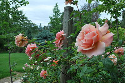 Peach Rose Art Print by Linda Sramek