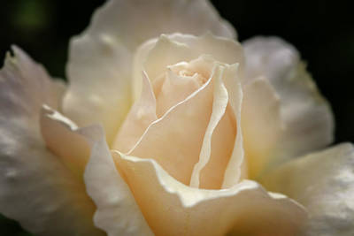 Photograph - Peach Rose by Mary Angelini