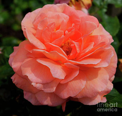 Photograph - Peach Rose by Mini Arora