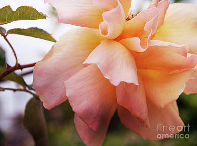 Photograph - Peach Rose Ruffles by Cathie Richardson