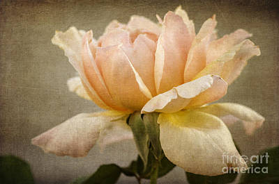 Photograph - Peach Rose by Tamara Becker