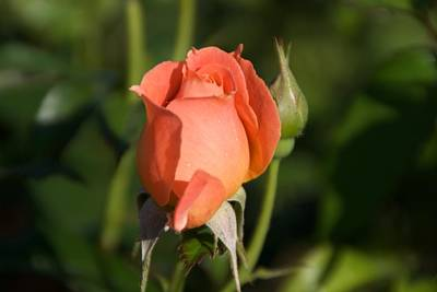Photograph - Peach Rose by Toni Berry