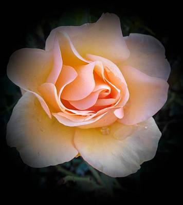 Photograph - Peach Rose  by Veronica Rickard