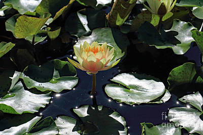 Photograph - Peach Water Lily by Mary Haber