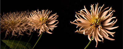 Peach Zinnia Diptych Print by Don Spenner