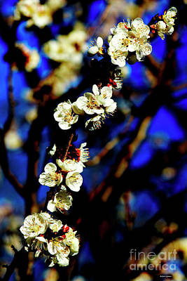 Photograph - Peachcot Blooms Announce Spring In Colorado II by Dale E Jackson