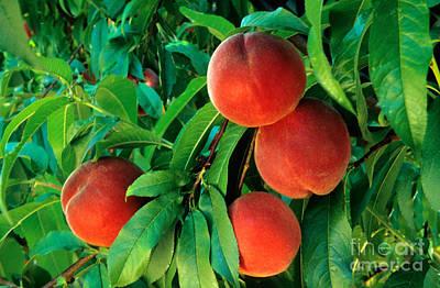 Peaches Prunus Persica Art Print