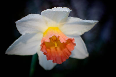 Photograph - Peachy Daffodil by Adria Trail