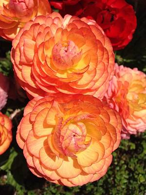 Photograph - Peachy Full Blooming Roses by Lynda Anne Williams