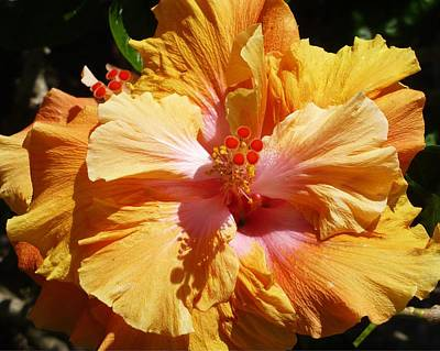 Photograph - Peachy Hibiscus by Florene Welebny