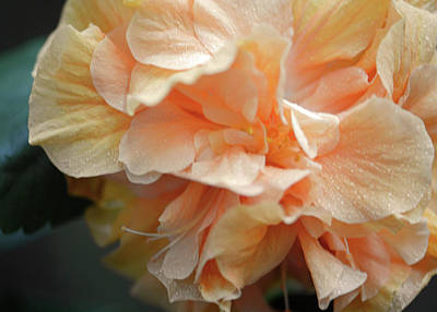 Photograph - Peachy Keen Apricot Hibiscus Macro by Connie Fox