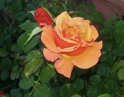 Photograph - Peachy Peaches And Cream Rose by Jay Milo