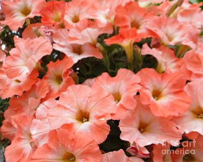 Photograph - Peachy Petunias Of Passau by Barbie Corbett-Newmin