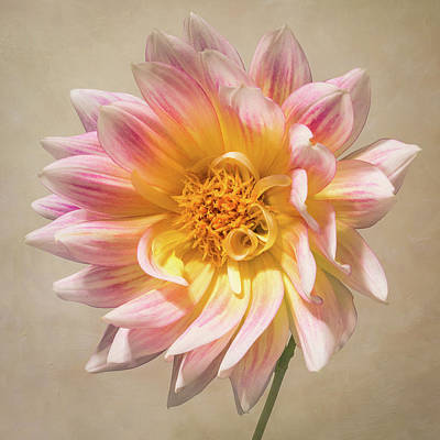 Photograph - Peachy Pink Dahlia Close-up by Patti Deters