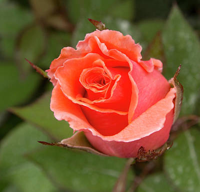 Photograph - Peachy Rose by Jean Noren