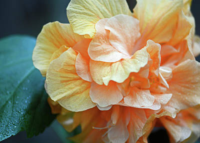 Photograph - Peachy Yellow. Ruffled Hibiscus Macro by Connie Fox