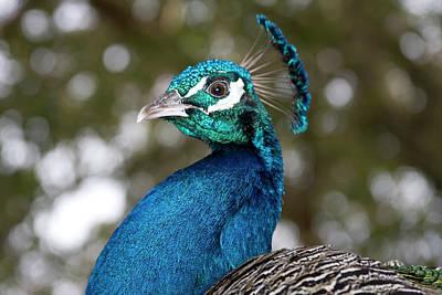 Photograph - Peacock 1 by Gwen Vann-Horn
