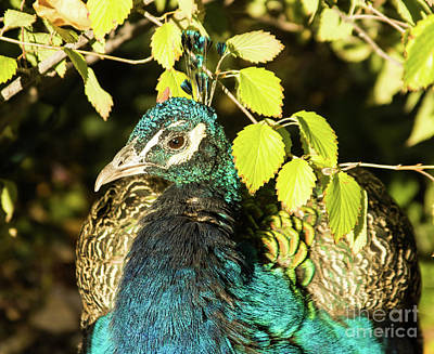 Photograph - Peacock 1 by Steven Parker