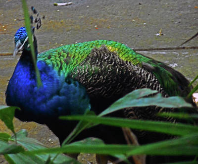 Photograph - Peacock 4 by Ron Kandt