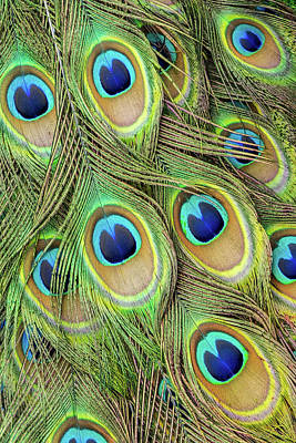 Living Peacock Abstract Art Print