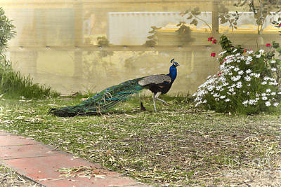 Photograph - Peacock And Daisies by Elaine Teague