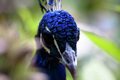Peacock And Leaves Original
