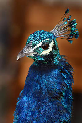 Photograph - Peacock by Anthony Jones