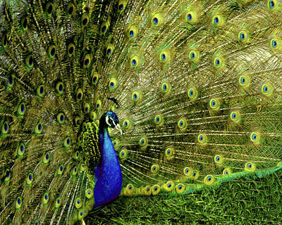 Peacock Photograph - Peacock At Frankenmuth Michigan by LeeAnn McLaneGoetz McLaneGoetzStudioLLCcom