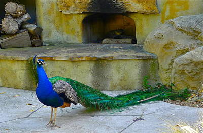 Photograph - Peacock At The Hearth by Denise Mazzocco