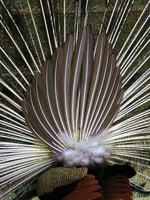 Photograph - Peacock Back Fan  by Helaine Cummins