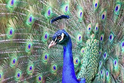 Photograph - Peacock Bloom by Steve McKinzie