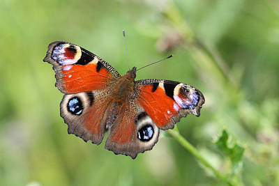 Photograph - Peacock Butterfly In Limerick Ireland by Pierre Leclerc Photography