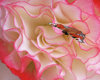 Photograph - Peacock Butterfly On Begonia Petals by Gill Billington