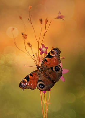 Photograph - Peacock Butterfly On Bell Flowers At Sunset by Jaroslaw Blaminsky