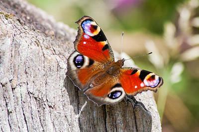 Photograph - Peacock Butterfly by Paul Sharman