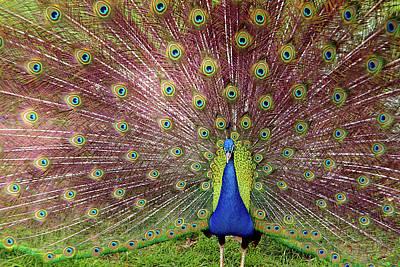 Peacock Photograph - Peacock by Carlos Caetano