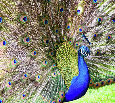 Photograph - Peacock by Colin Rayner
