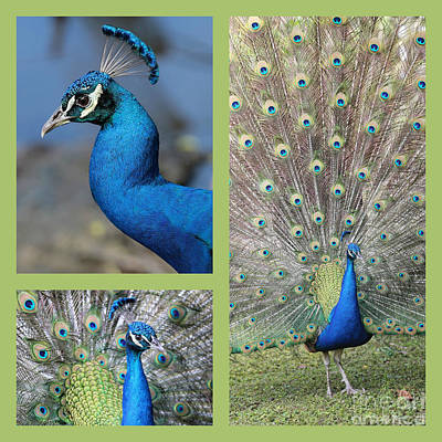 Photograph - Peacock Collage In Lime Green by Carol Groenen